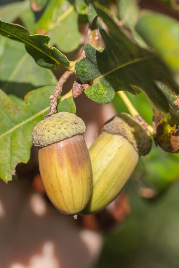 橡树的果子成熟在秋天 库存照片