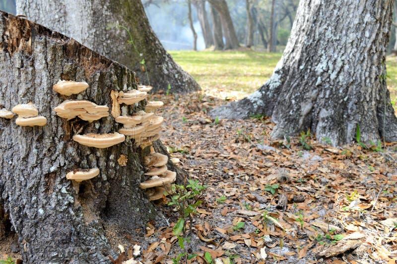 橡树真菌 图库摄影