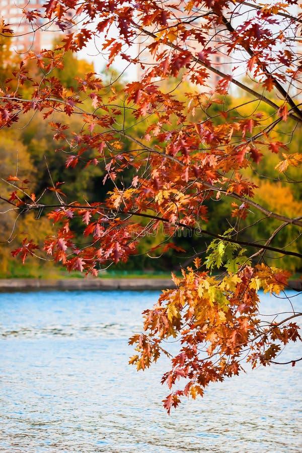 年轻橡树风景看法在秋天有美丽的城市公园与在湖上的五颜六色的叶子 免版税库存照片