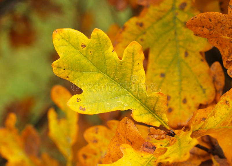 橡树黄色叶子  免版税库存照片