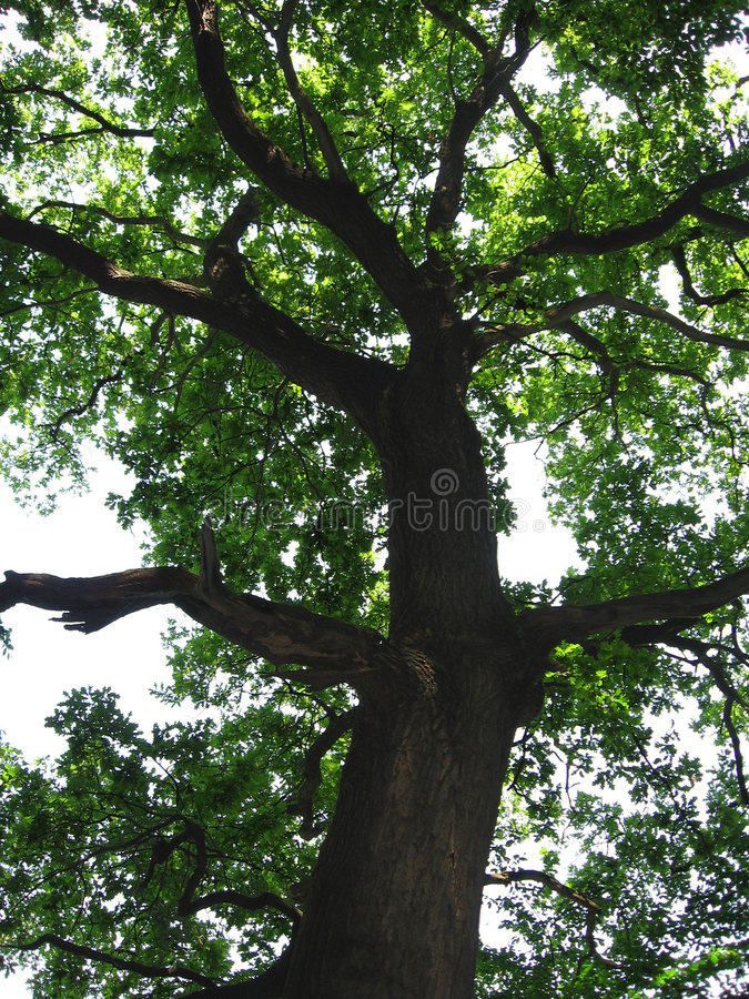 橡树 库存图片