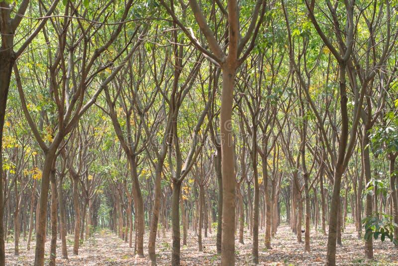 橡胶园,在泰国南部 库存照片