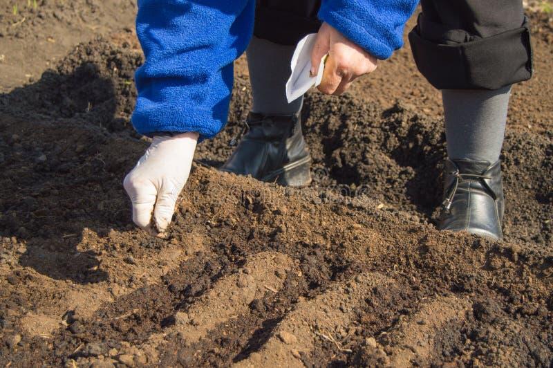橡胶手套的一名年长妇女在她的庭院里播下在土壤的种子 库存照片