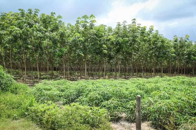 橡胶树和木薯或木薯粉植物 免版税库存照片