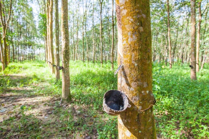 橡胶树在泰国 库存照片