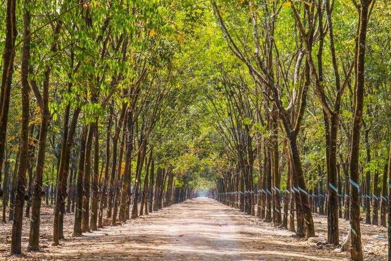 橡胶树森林 免版税库存照片