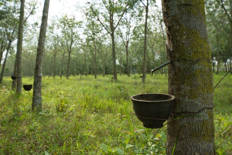 从橡胶树的轻拍的乳汁有橡胶园背景 免版税库存图片