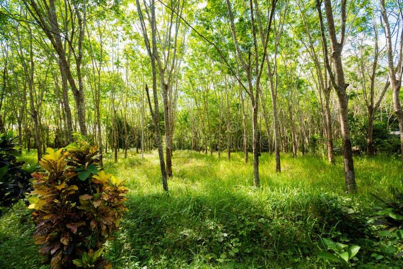 橡胶树种植园在Krabi 库存图片