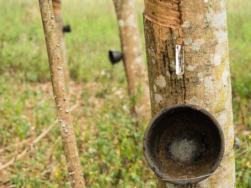 橡胶树种田和种植园 库存照片