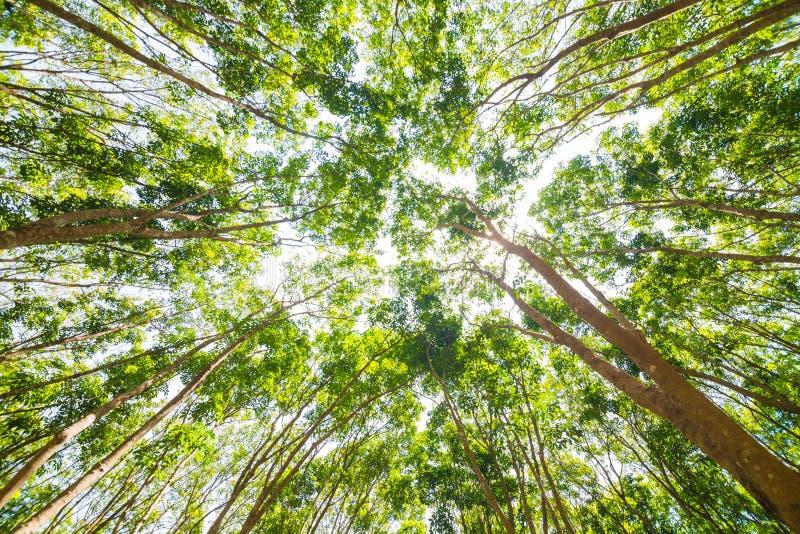 橡胶树背景在深森林里 库存图片