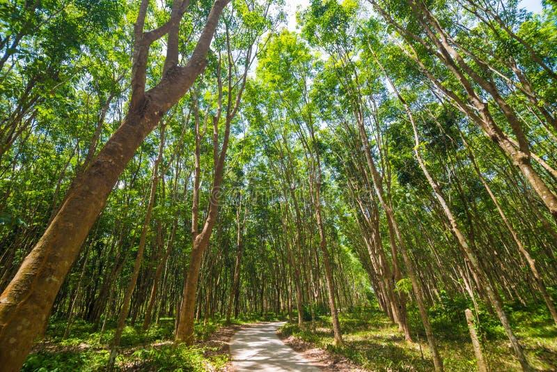 橡胶树背景在深森林里 免版税图库摄影