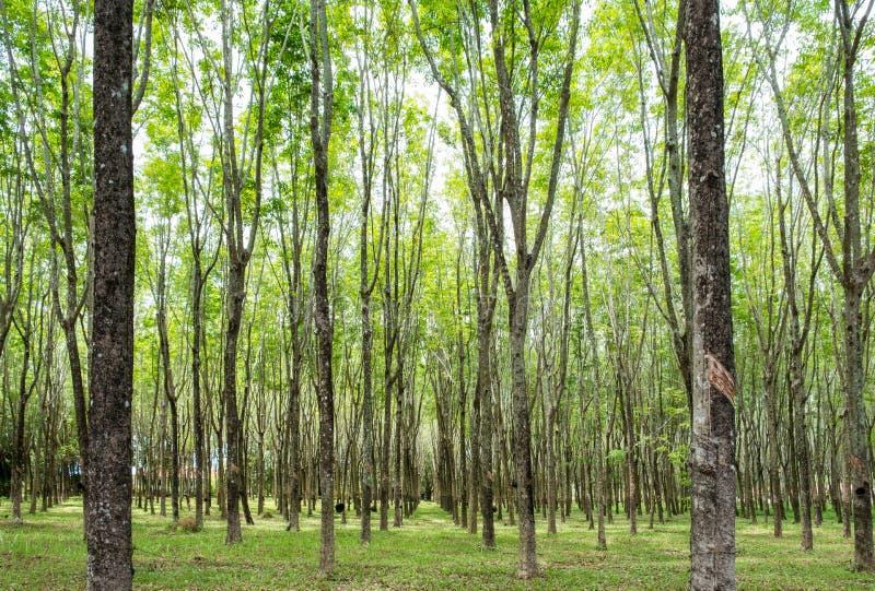 橡胶树,三叶胶brasiliensis在遮荫种植园 免版税库存图片