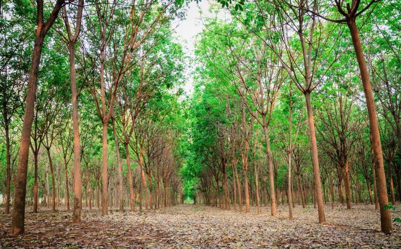 橡胶trees.2 库存图片