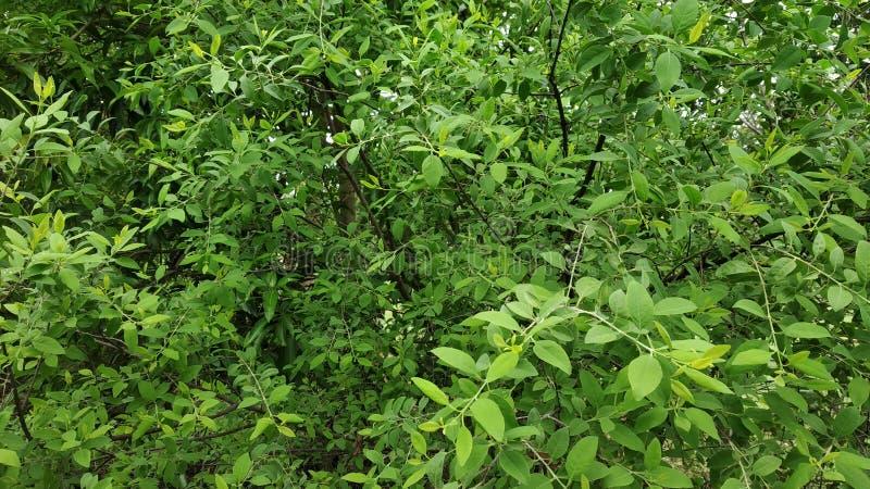 檀香木显示它的叶子和词根的厂图象 免版税库存照片