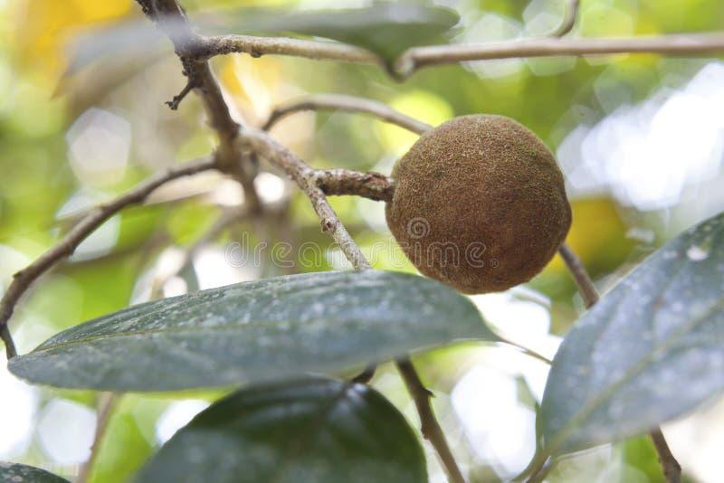 檀香木树,普遍的ayurvedic植物 库存图片