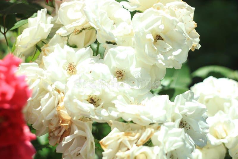 欢乐花,在自然背景的美丽的白玫瑰 生日,Mother';s,华伦泰,Women';s,婚姻的概念 库存图片