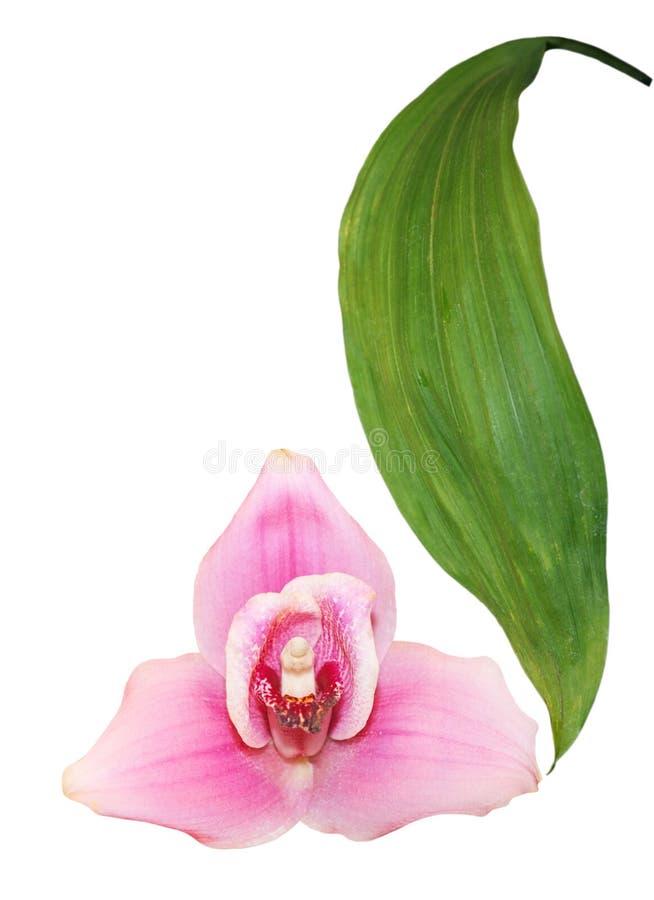 欢欣pescoranthes莓 免版税库存图片