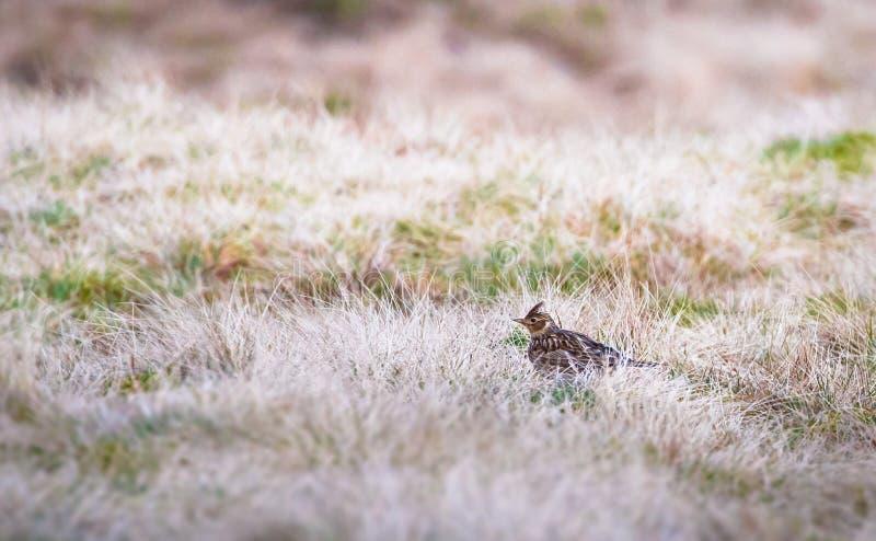 欧亚云雀云雀属arvensis在英国 免版税图库摄影