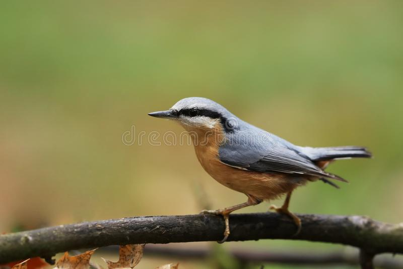 欧亚五子雀五子雀类europaea是遍及欧亚大陆被找到的一只小燕雀类鸟 免版税库存照片
