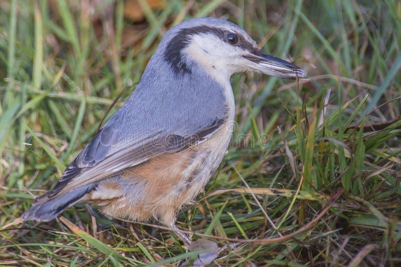 欧亚五子雀, (五子雀类europaea)在地面上 库存照片