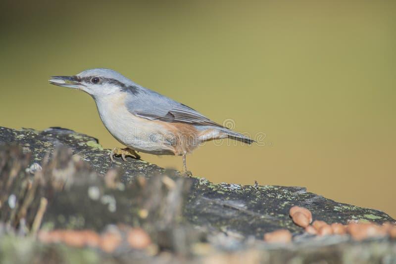 欧亚五子雀, (五子雀类europaea)在树桩 库存照片