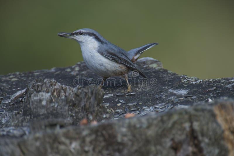 欧亚五子雀, (五子雀类europaea)在树桩 免版税库存照片