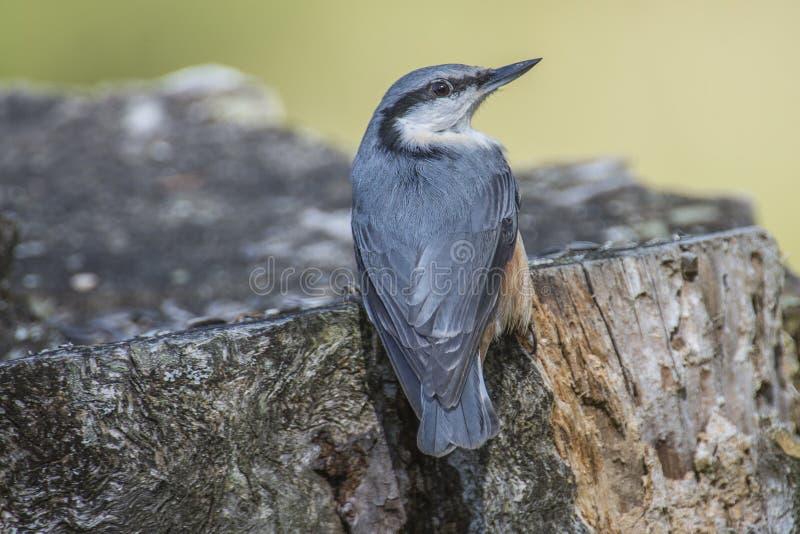 欧亚五子雀, (五子雀类europaea)在树桩 库存图片