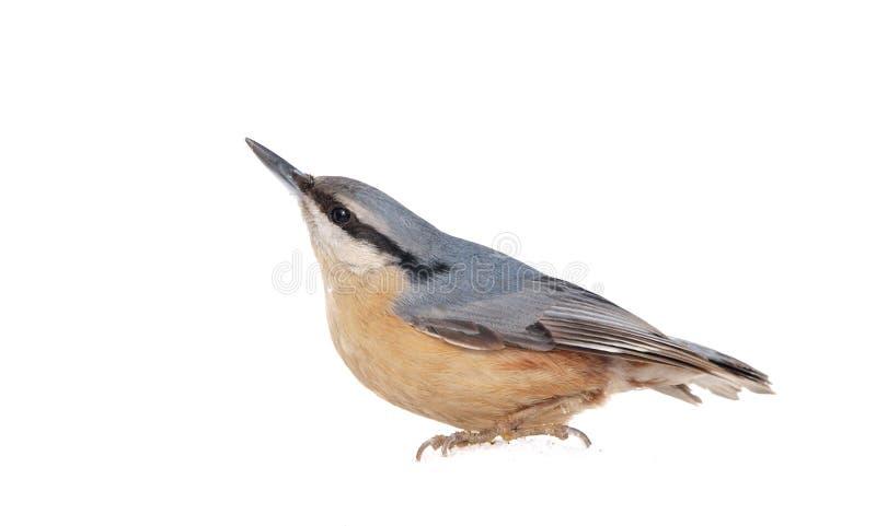 欧亚五子雀(五子雀类europaea)在雪 免版税库存照片