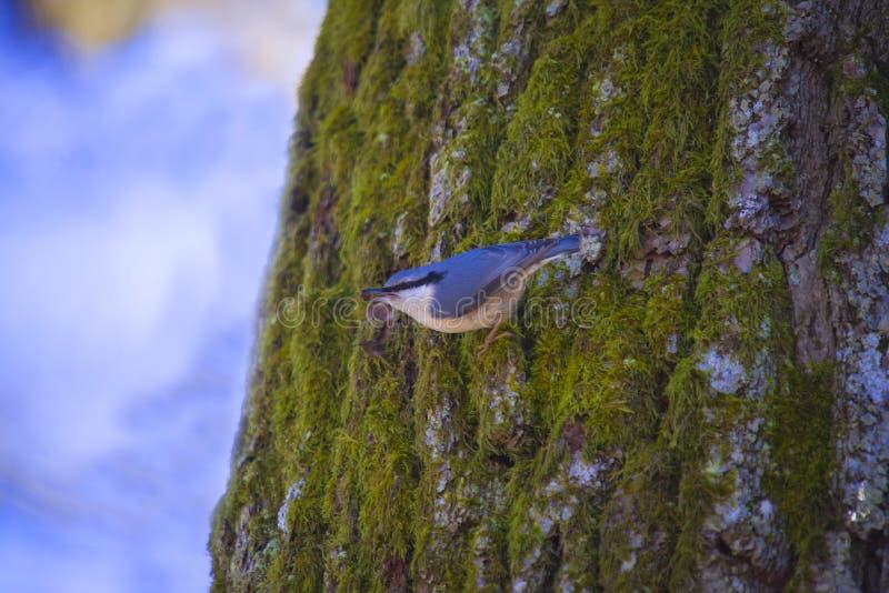 欧亚五子雀(五子雀类europaea),在挪威: spettmeis 免版税库存照片