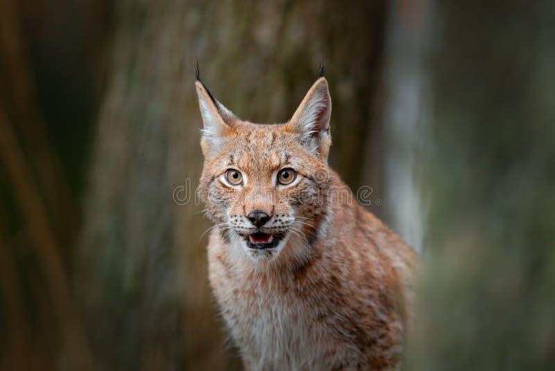 欧亚天猫座,在森林掩藏的野生猫画象在岩石山美丽的动物在自然栖所,瑞典 细节portr 库存图片