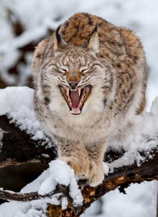 欧亚天猫座,天猫座lynnx,在雪,打呵欠 免版税库存照片