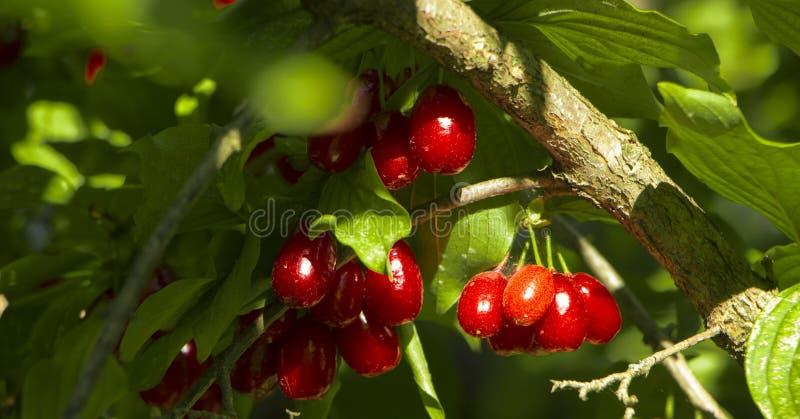 欧亚山茱萸萸肉mas成熟果子作为背景 免版税库存图片