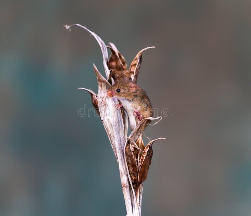 欧亚巢鼠 免版税库存照片