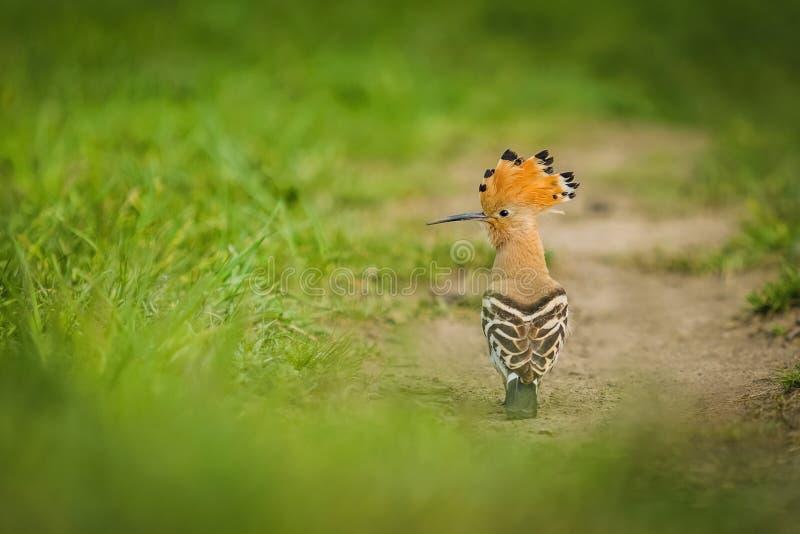 欧亚戴胜,与羽毛冠的一只含沙棕色鸟  免版税库存照片