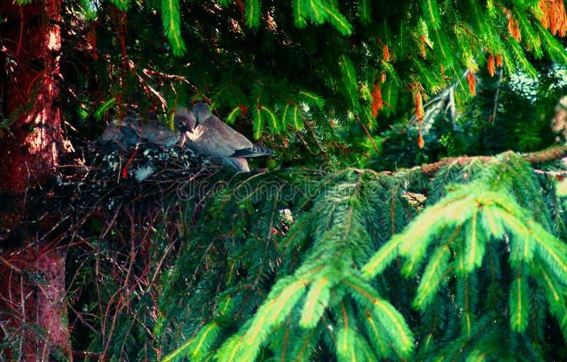 欧亚抓住衣领口的鸠坐树桩,斑鸠decaocto 图库摄影