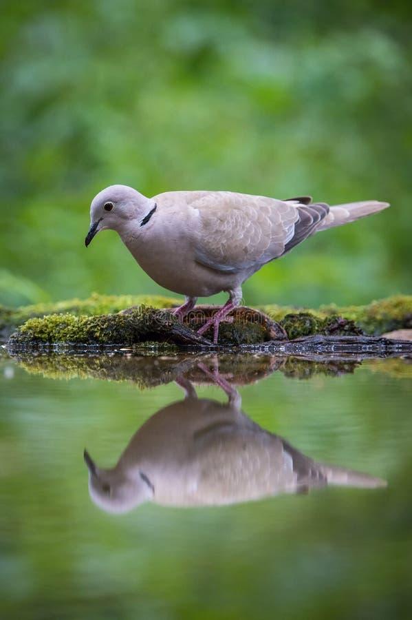 欧亚抓住衣领口的鸠或斑鸠decaocto坐在waterhole 免版税图库摄影