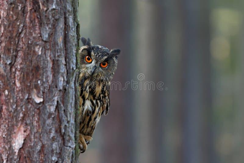 欧亚欧洲产之大雕,腹股沟淋巴肿块腹股沟淋巴肿块,掩藏树干在冬天森林,与大橙色眼睛的画象,在自然habita的鸟 库存图片