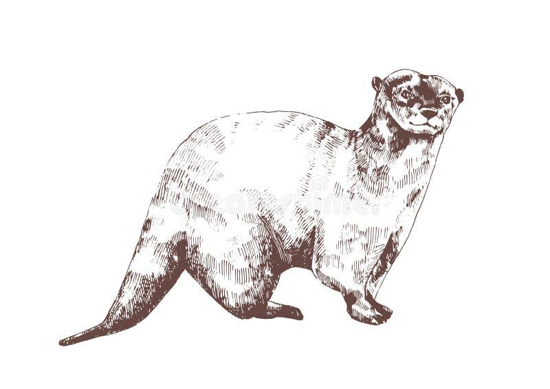 欧亚水獭手拉与在白色背景的等高线 美丽的单色略图狂放 向量例证