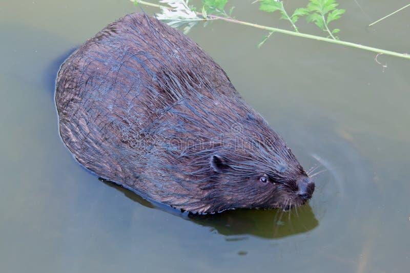 欧亚海狸铸工纤维啮齿目动物,吃 免版税库存图片