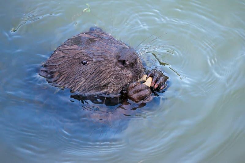 欧亚海狸铸工纤维啮齿目动物,吃 图库摄影