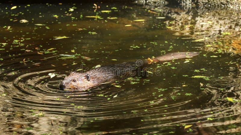 欧亚海狸铸工纤维游泳在有叶子的池塘, onl 库存图片