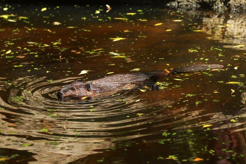 欧亚海狸铸工纤维游泳在有树叶子的池塘 免版税库存照片