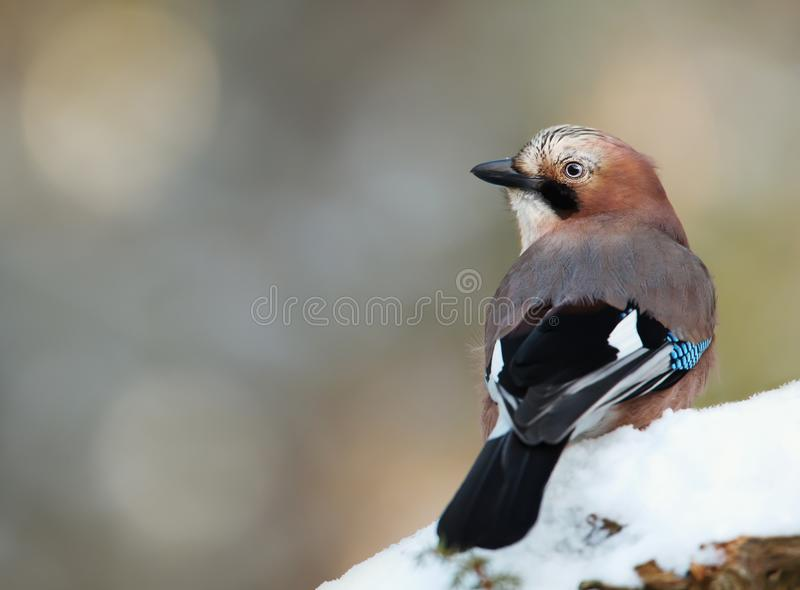 欧亚混血人栖息在一个多雪的树枝的杰伊在冬天 库存照片