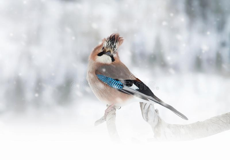 欧亚混血人栖息在树枝的杰伊,当下雪时 库存照片