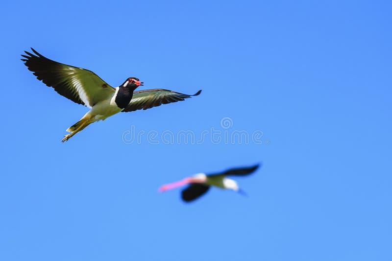 欧亚田凫类在天空温文地飞行在美好的自然中间的indicus鸟 图库摄影