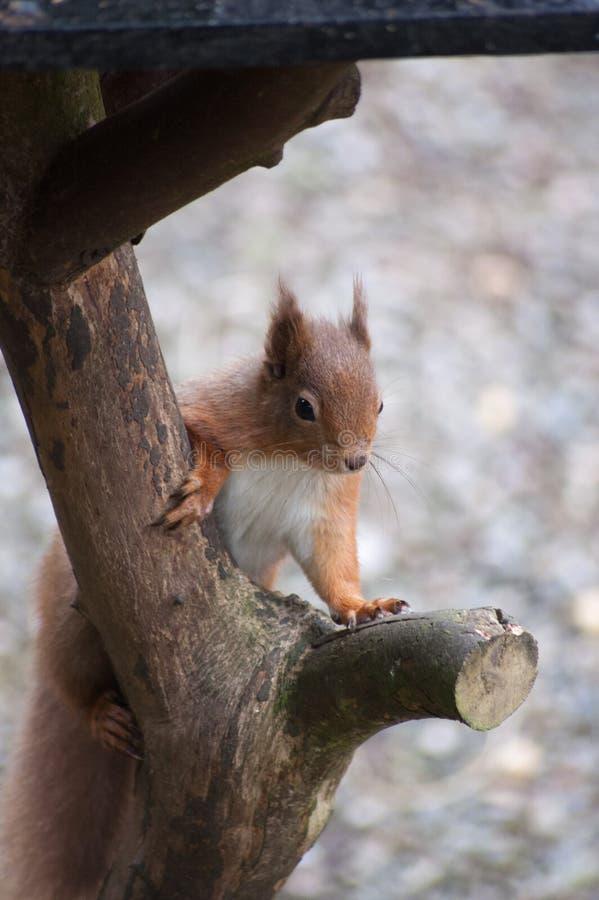 欧亚红松鼠-寻常的中型松鼠 免版税库存图片