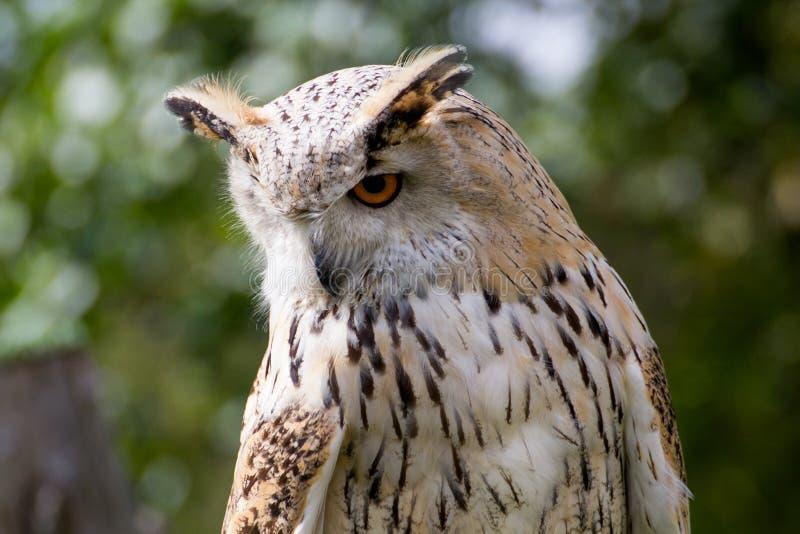 欧亚老鹰猫头鹰 库存图片