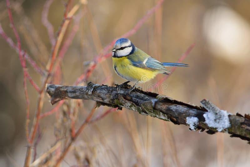 欧亚蓝冠山雀坐与剥落的吠声的一个分支 免版税库存照片
