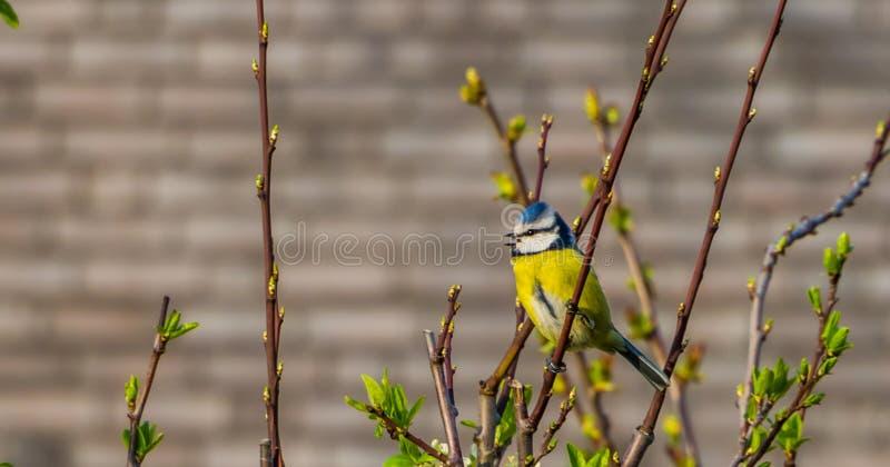 欧亚蓝冠山雀坐树枝,从欧亚大陆的共同的野生鸟 免版税库存照片