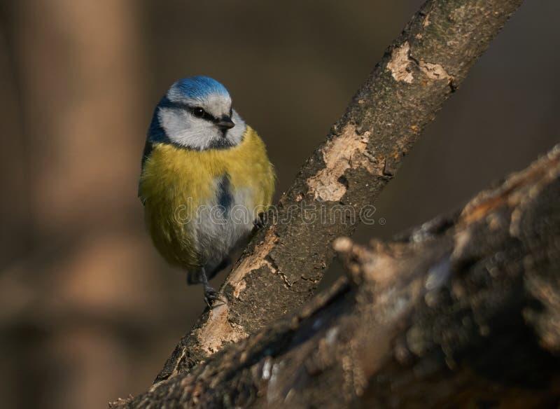欧亚蓝冠山雀或Cyanistes caeruleus坐一个分支在一早晨天 库存图片
